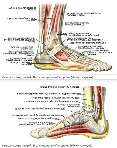 мышцы-латекр-медиал